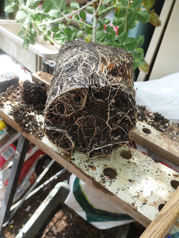 パブロア(Pavlova)の大苗(鉢植え苗)を植え換えた。半ツルバラ。2020年-006.jpg
