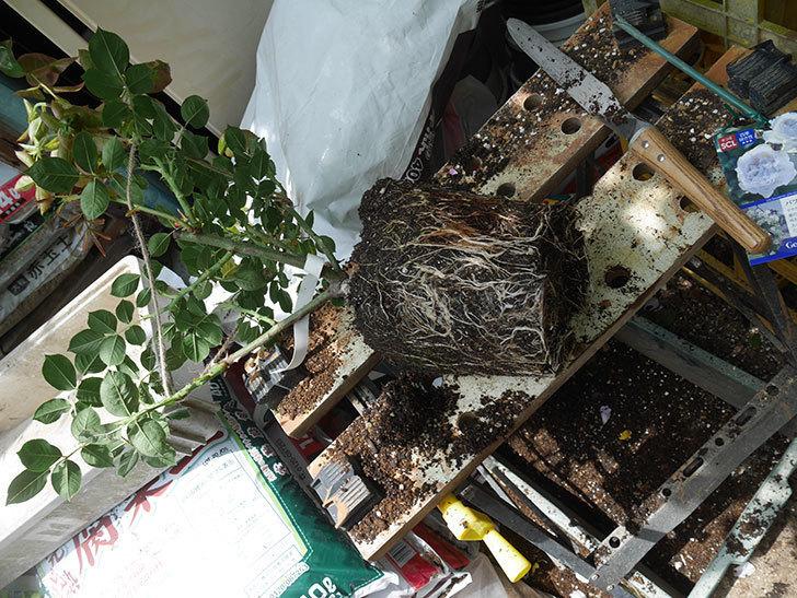 パブロア(Pavlova)の大苗(鉢植え苗)を植え換えた。半ツルバラ。2020年-007.jpg