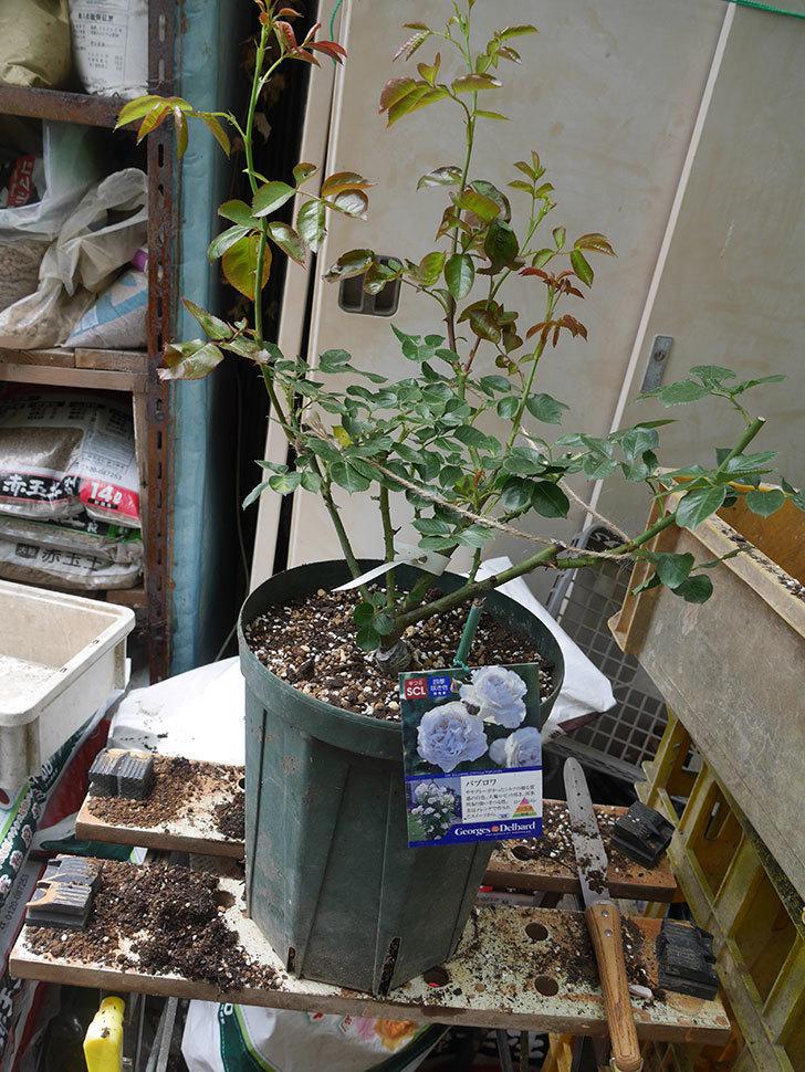 パブロア(Pavlova)の大苗(鉢植え苗)を植え換えた。半ツルバラ。2020年-008.jpg