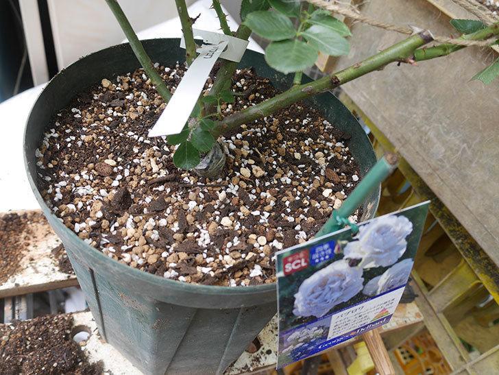 パブロア(Pavlova)の大苗(鉢植え苗)を植え換えた。半ツルバラ。2020年-009.jpg