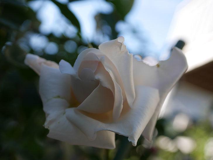 パブロア(Pavlova)の秋花が咲いた。半ツルバラ。2020年-004.jpg