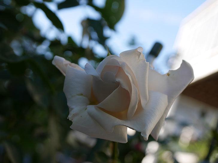 パブロア(Pavlova)の秋花が咲いた。半ツルバラ。2020年-005.jpg