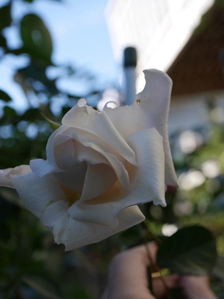 パブロア(Pavlova)の秋花が咲いた。半ツルバラ。2020年-006.jpg