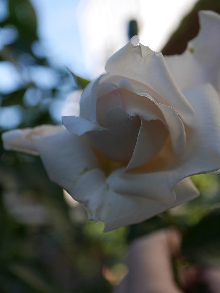 パブロア(Pavlova)の秋花が咲いた。半ツルバラ。2020年-007.jpg