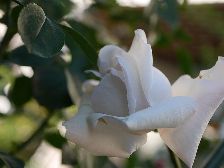 パブロア(Pavlova)の秋花が咲いた。半ツルバラ。2020年-008.jpg