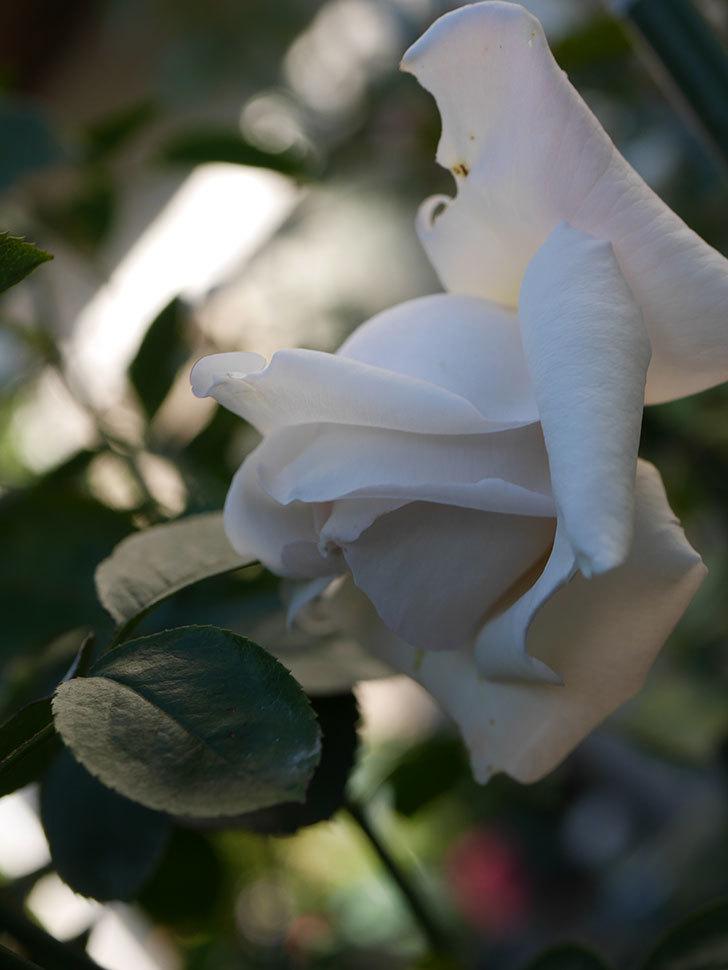 パブロア(Pavlova)の秋花が咲いた。半ツルバラ。2020年-009.jpg