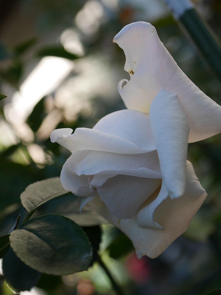 パブロア(Pavlova)の秋花が咲いた。半ツルバラ。2020年-010.jpg