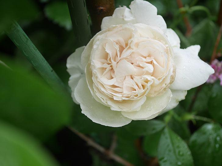パブロア(Pavlova)の花が咲いた。半ツルバラ。2020年-001.jpg