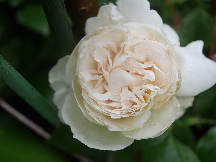 パブロア(Pavlova)の花が咲いた。半ツルバラ。2020年-002.jpg