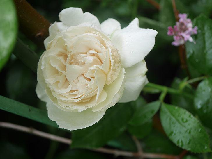パブロア(Pavlova)の花が咲いた。半ツルバラ。2020年-004.jpg