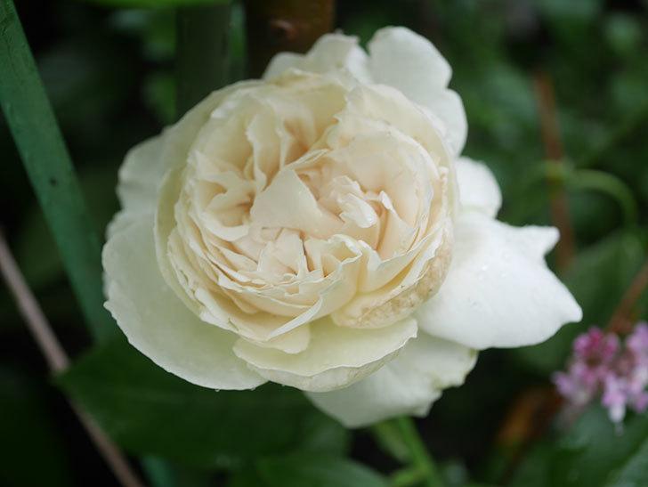 パブロア(Pavlova)の花が咲いた。半ツルバラ。2020年-006.jpg