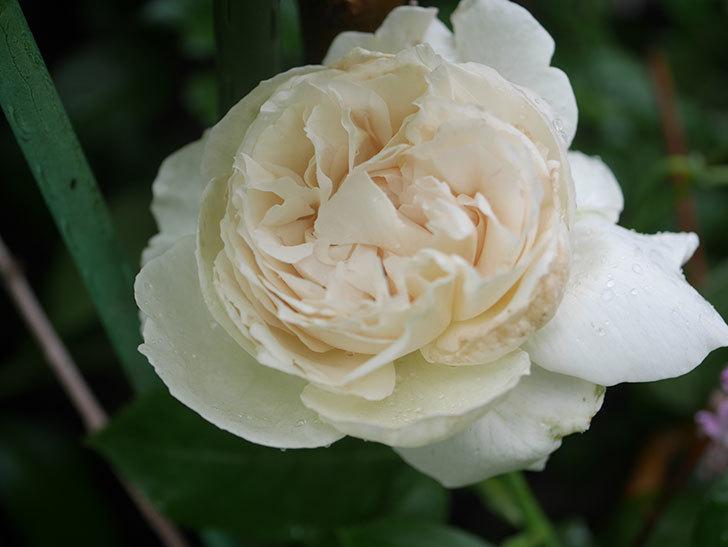 パブロア(Pavlova)の花が咲いた。半ツルバラ。2020年-007.jpg