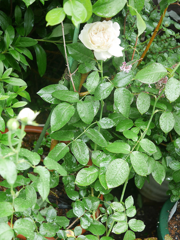 パブロア(Pavlova)の花が咲いた。半ツルバラ。2020年-008.jpg
