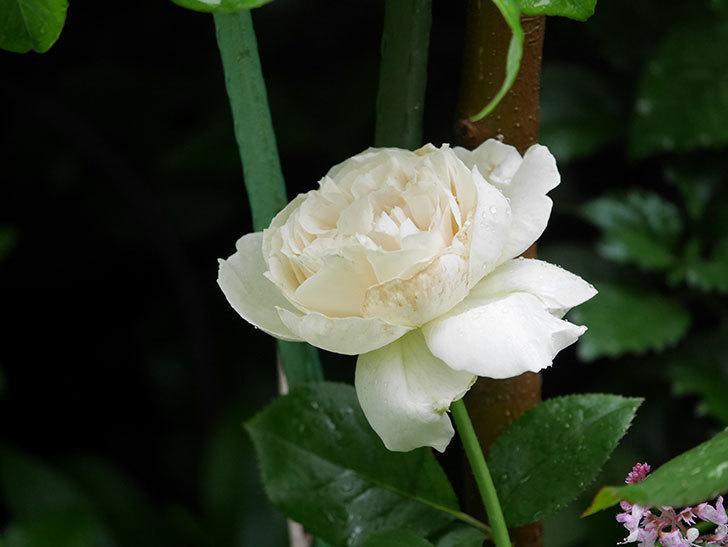 パブロア(Pavlova)の花が咲いた。半ツルバラ。2020年-009.jpg