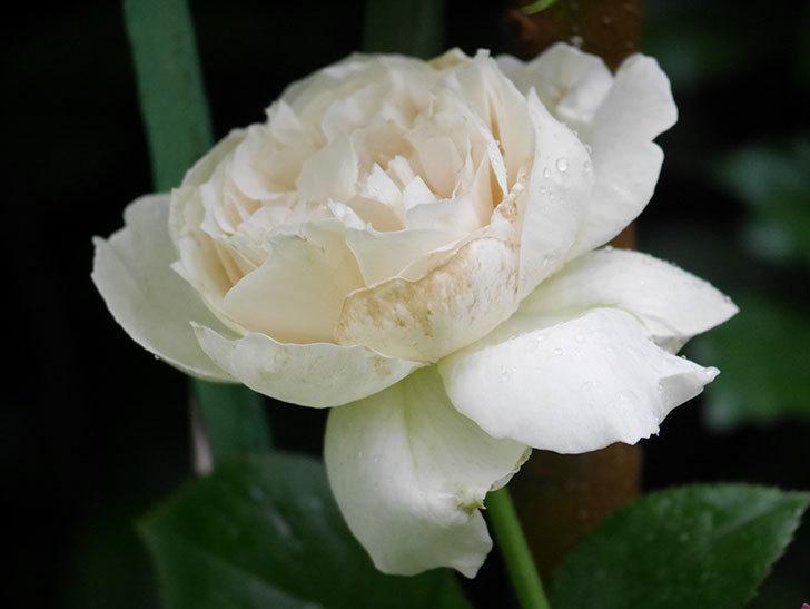 パブロア(Pavlova)の花が咲いた。半ツルバラ。2020年-010.jpg