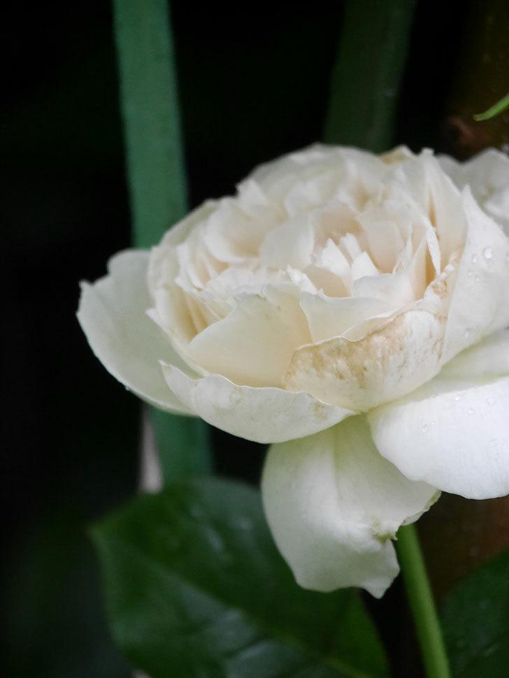 パブロア(Pavlova)の花が咲いた。半ツルバラ。2020年-011.jpg