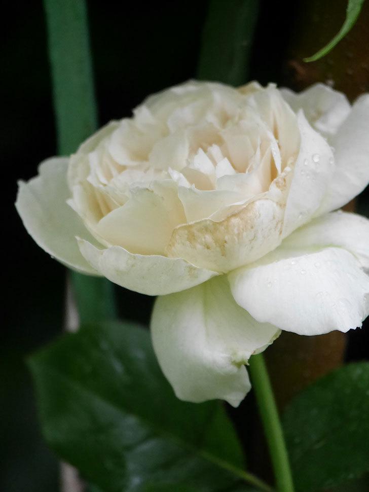 パブロア(Pavlova)の花が咲いた。半ツルバラ。2020年-012.jpg