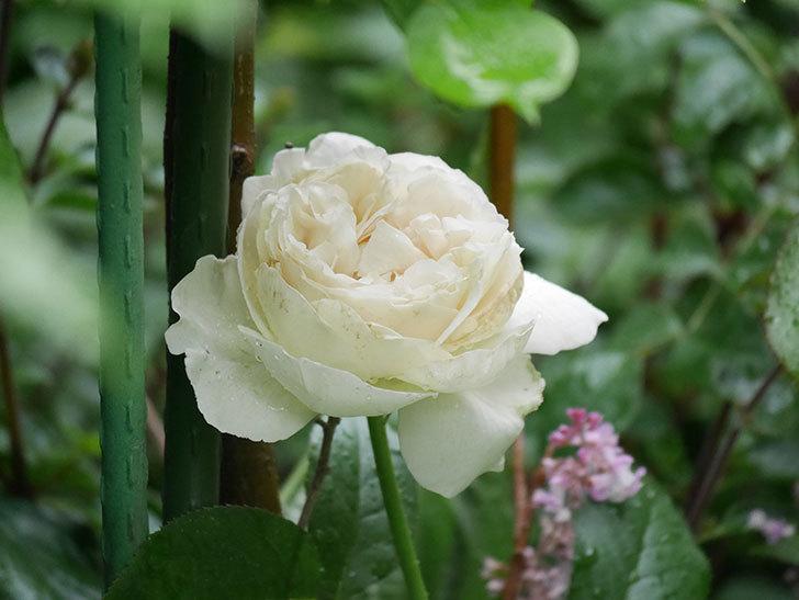 パブロア(Pavlova)の花が咲いた。半ツルバラ。2020年-013.jpg