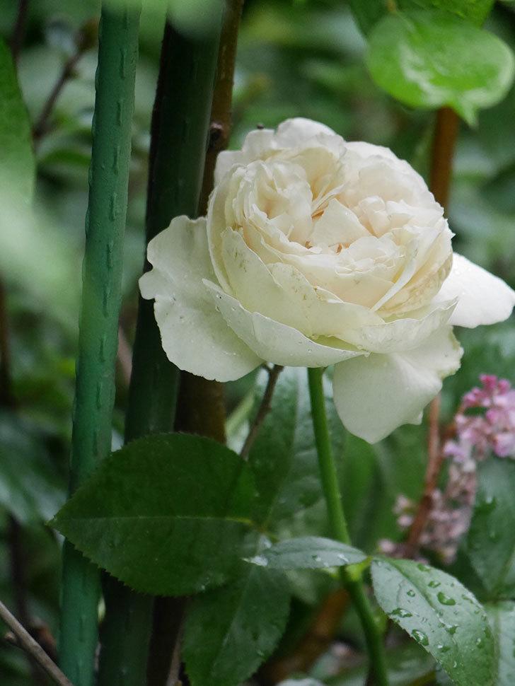 パブロア(Pavlova)の花が咲いた。半ツルバラ。2020年-014.jpg