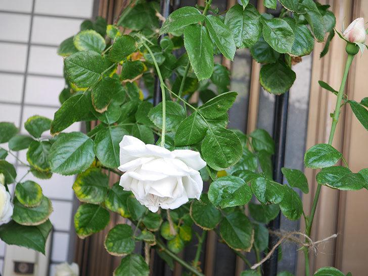 パブロア(Pavlova)の花が咲いた。半ツルバラ。2021年-001.jpg