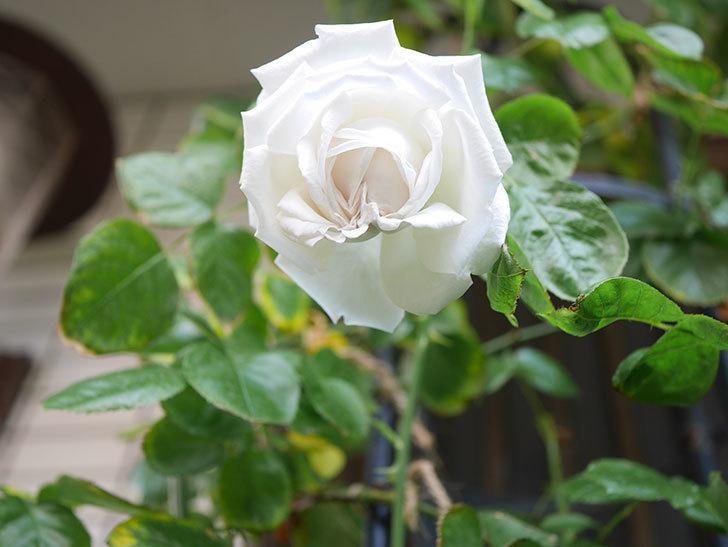 パブロア(Pavlova)の花が咲いた。半ツルバラ。2021年-003.jpg