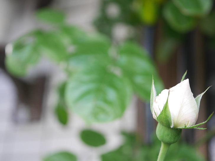 パブロア(Pavlova)の花が咲いた。半ツルバラ。2021年-009.jpg