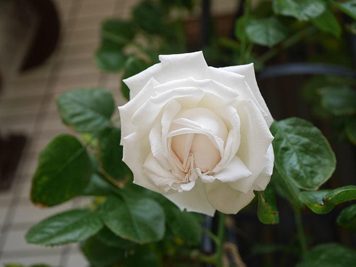パブロア(Pavlova)の花が咲いた。半ツルバラ。2021年-010.jpg
