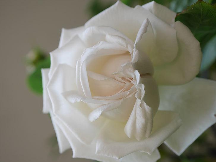 パブロア(Pavlova)の花が咲いた。半ツルバラ。2021年-014.jpg