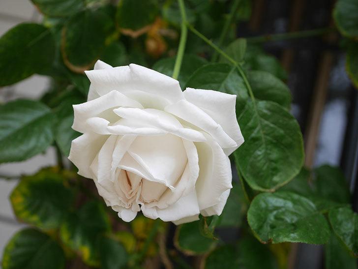 パブロア(Pavlova)の花が咲いた。半ツルバラ。2021年-015.jpg