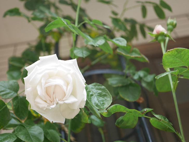 パブロア(Pavlova)の花が咲いた。半ツルバラ。2021年-017.jpg