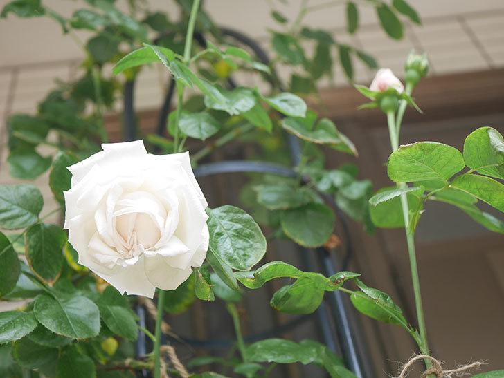 パブロア(Pavlova)の花が咲いた。半ツルバラ。2021年-018.jpg