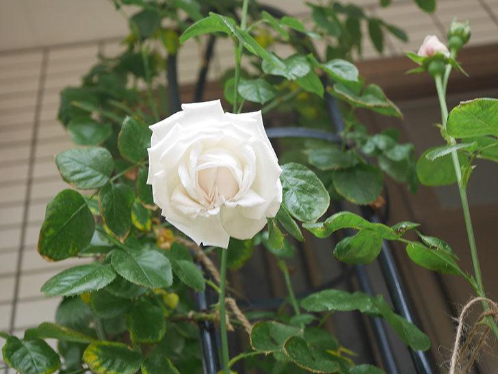 パブロア(Pavlova)の花が咲いた。半ツルバラ。2021年-020.jpg