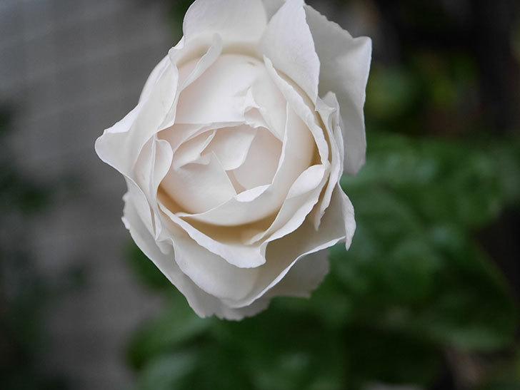 パブロア(Pavlova)の花が増えてきた。半ツルバラ。2021年-001.jpg