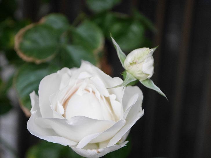 パブロア(Pavlova)の花が増えてきた。半ツルバラ。2021年-002.jpg