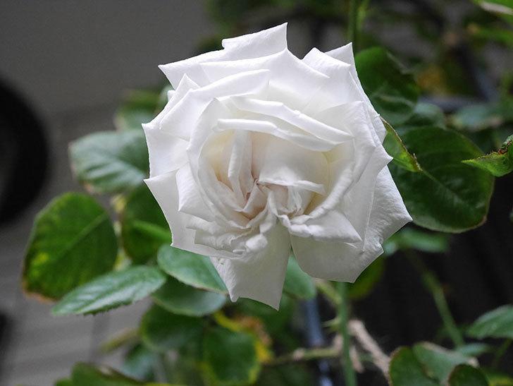 パブロア(Pavlova)の花が増えてきた。半ツルバラ。2021年-003.jpg