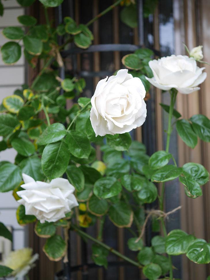 パブロア(Pavlova)の花が増えてきた。半ツルバラ。2021年-005.jpg