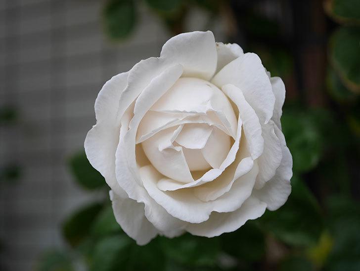 パブロア(Pavlova)の花が増えてきた。半ツルバラ。2021年-006.jpg