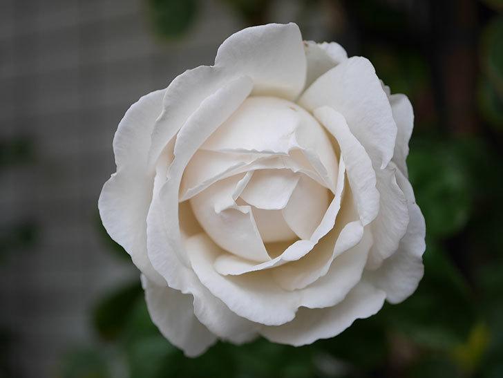 パブロア(Pavlova)の花が増えてきた。半ツルバラ。2021年-007.jpg