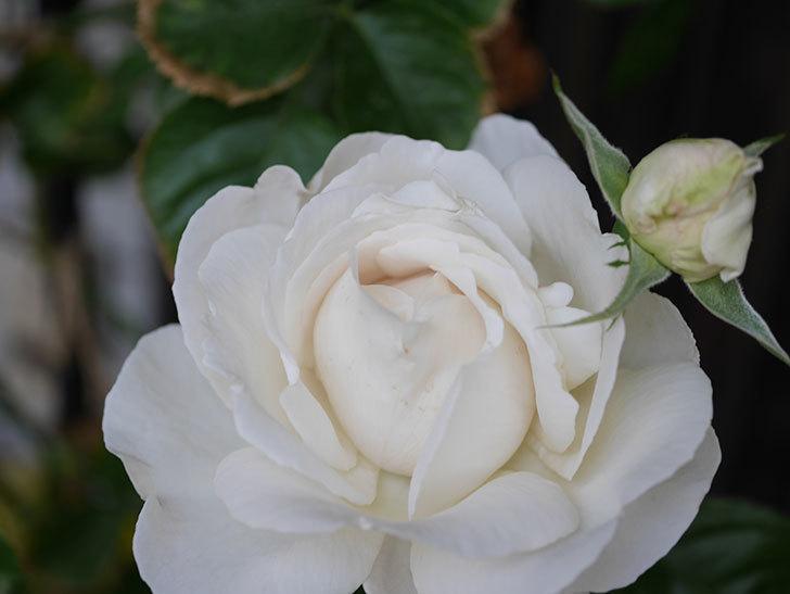 パブロア(Pavlova)の花が増えてきた。半ツルバラ。2021年-008.jpg