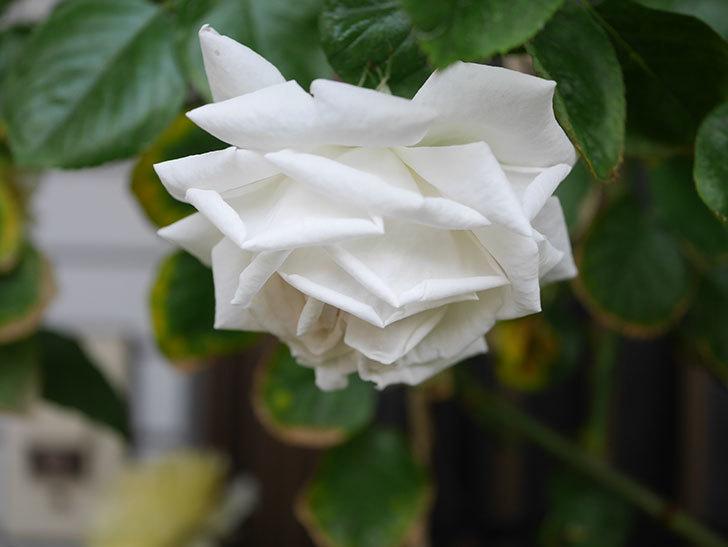 パブロア(Pavlova)の花が増えてきた。半ツルバラ。2021年-009.jpg