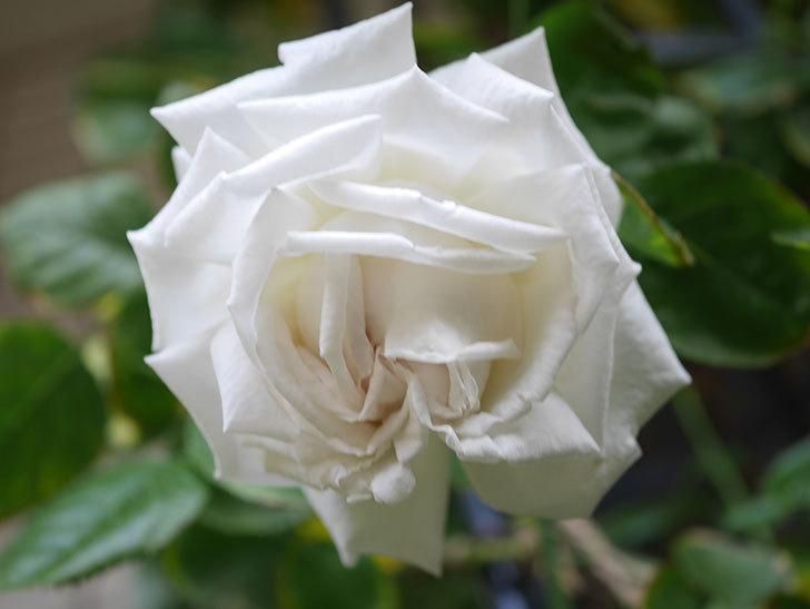 パブロア(Pavlova)の花が増えてきた。半ツルバラ。2021年-010.jpg