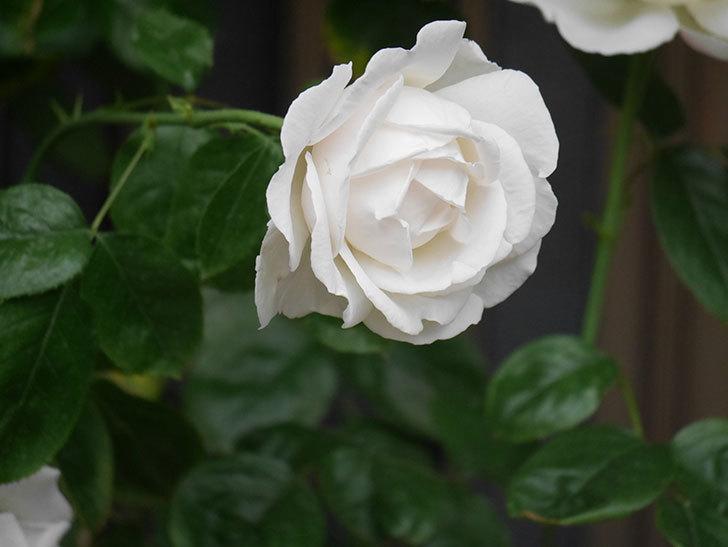 パブロア(Pavlova)の花が増えてきた。半ツルバラ。2021年-013.jpg