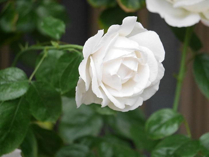 パブロア(Pavlova)の花が増えてきた。半ツルバラ。2021年-014.jpg