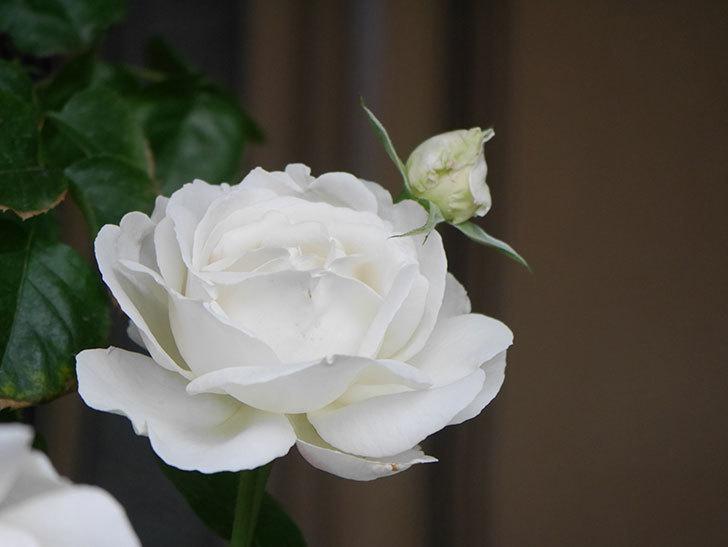 パブロア(Pavlova)の花が増えてきた。半ツルバラ。2021年-015.jpg