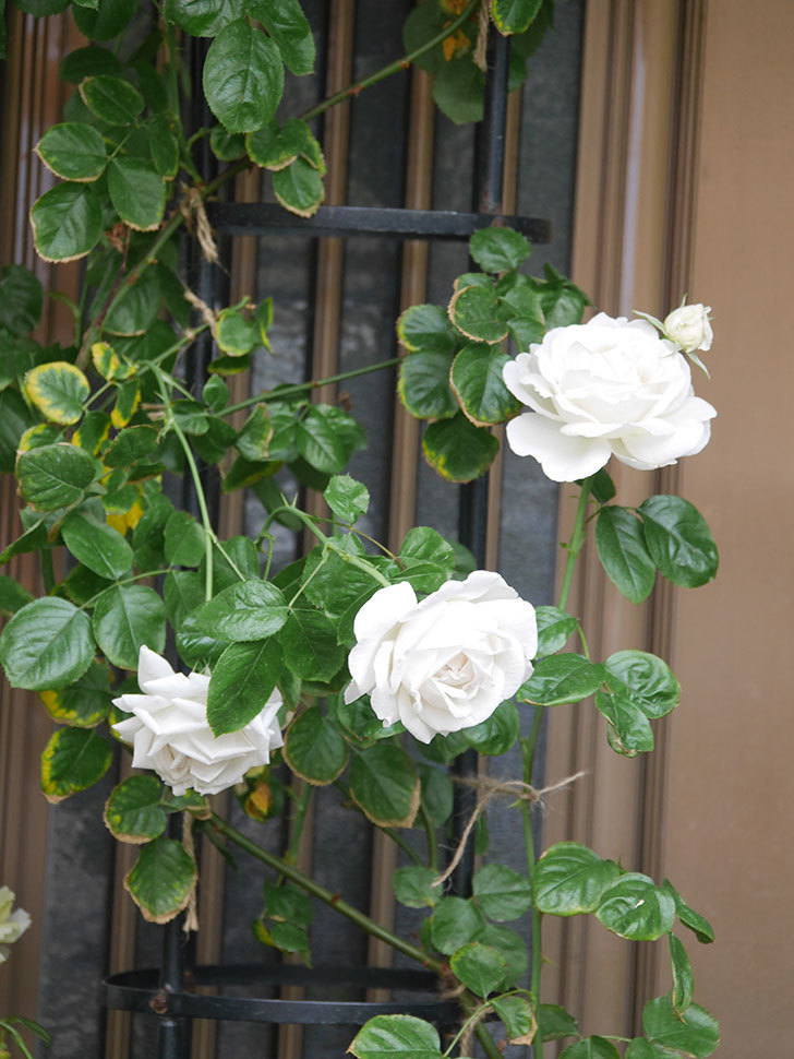 パブロア(Pavlova)の花が増えてきた。半ツルバラ。2021年-016.jpg