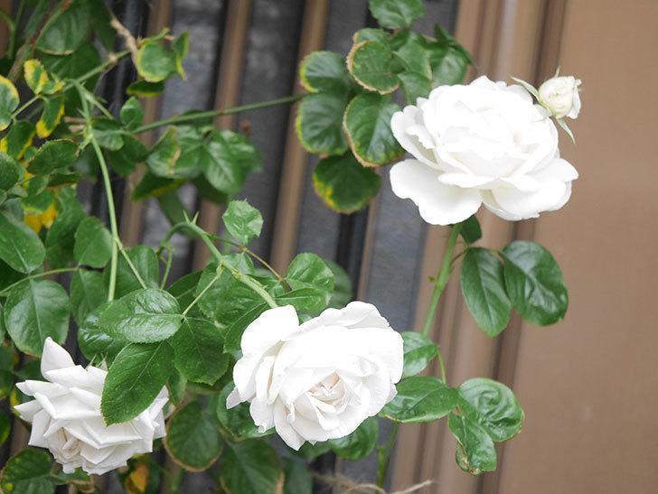パブロア(Pavlova)の花が増えてきた。半ツルバラ。2021年-017.jpg