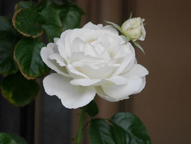 パブロア(Pavlova)の花が増えてきた。半ツルバラ。2021年-018.jpg