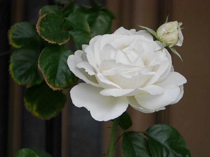 パブロア(Pavlova)の花が増えてきた。半ツルバラ。2021年-019.jpg