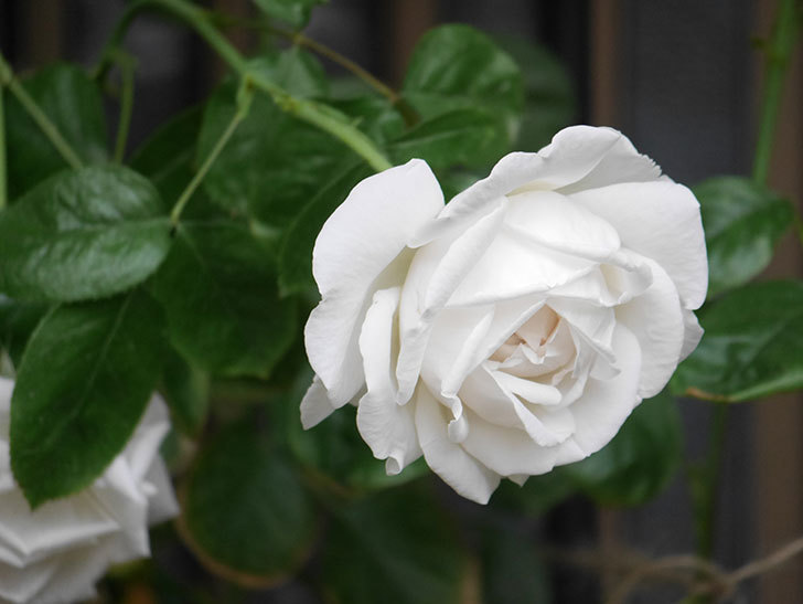 パブロア(Pavlova)の花が増えてきた。半ツルバラ。2021年-020.jpg