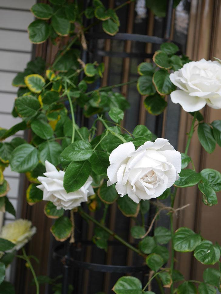 パブロア(Pavlova)の花が増えてきた。半ツルバラ。2021年-023.jpg